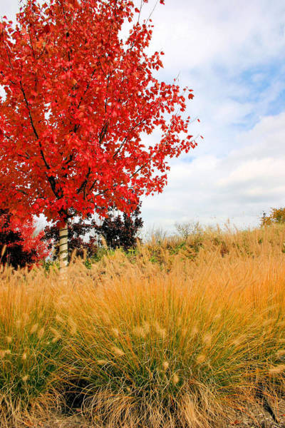 Photograph - Autumn Red Maple by Kristin Elmquist