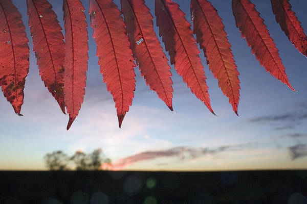 Tallgrass Wall Art - Photograph - Autumn Red Sumac Leaves by Jim Richardson