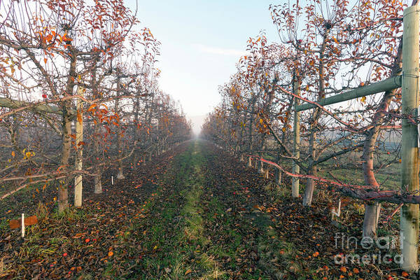 Orchard Photograph - Autumn Rows by Mike Dawson