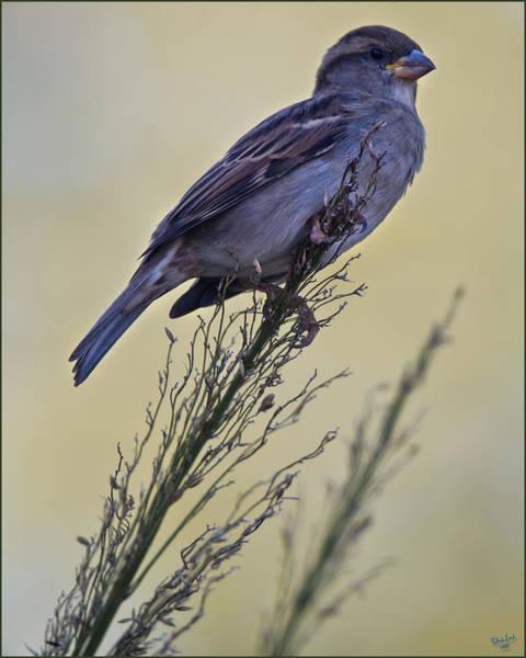Photograph - Autumn Sparrow by Chris Lord