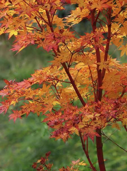 Photograph - Autumn Sun On Coral Bark Maple Tree Leaves by Gill Billington