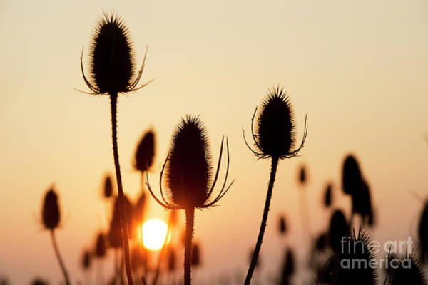 English Countryside Photograph - Autumn Sunrise Teasels by Tim Gainey