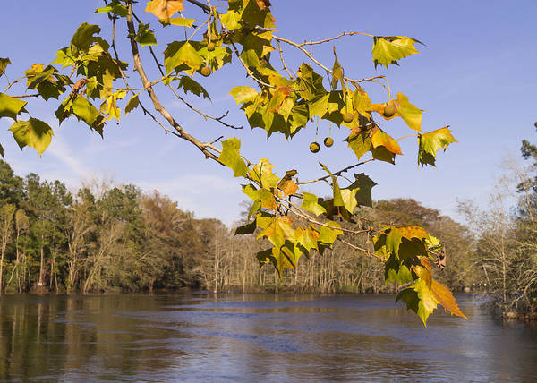 Photograph - Autumn Sycamore Branch At The Waccamaw River by MM Anderson