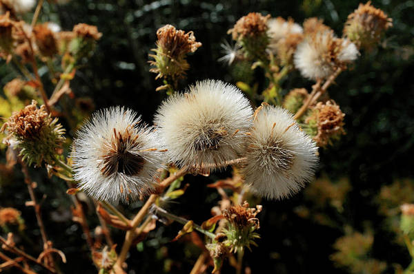 Photograph - Autumn Thistle by Ron Cline