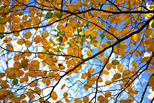 Canopy Photograph - Autumn Tree Branches by Elena Elisseeva