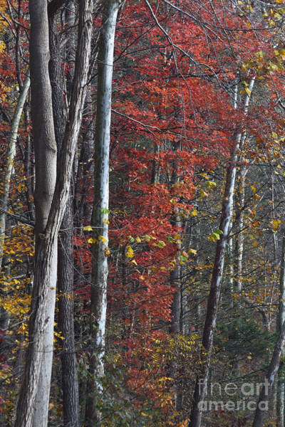 Photograph - Autumn Trees 8261c by Cynthia Staley
