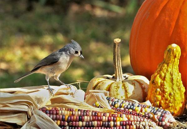 Photograph - Autumn Tufted Titmouse by Sheila Brown