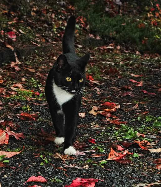 Photograph - Autumn Tuxedo Kitty by Lara Ellis