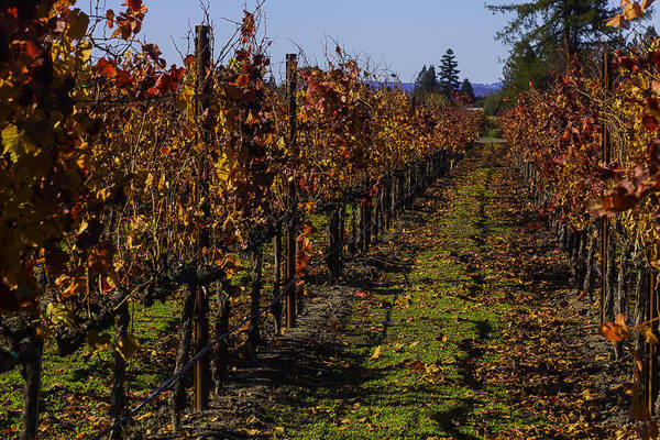 Wall Art - Photograph - Autumn Vineyard Colors by Garry Gay