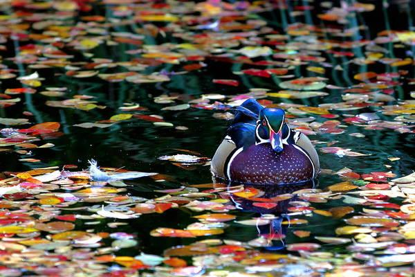 Photograph - Autumn Wood Duck by Debi Dalio