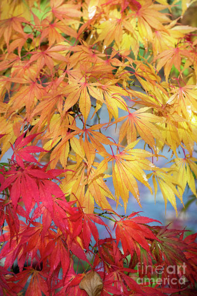 Wall Art - Photograph - Autumnal Acer Palmatum Elegans  by Tim Gainey