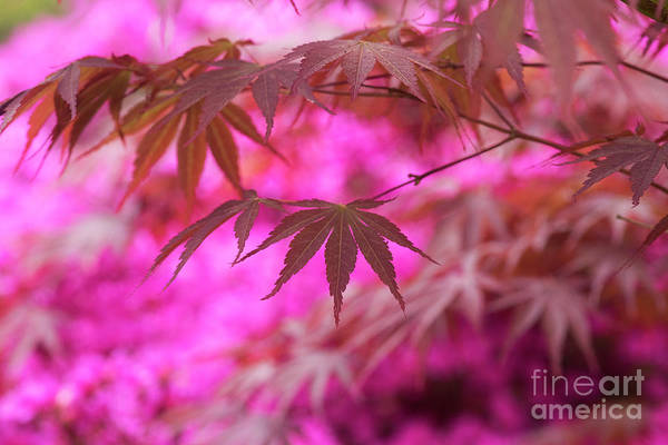 Wall Art - Photograph - Autumnal Acer Palmatum Sumi Nagashi by Tim Gainey