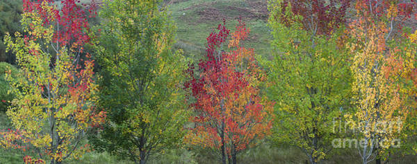 Photograph - Autumnal Aspen Trees Panoramic by Tim Gainey
