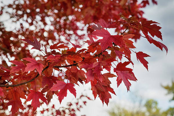 Photograph - Autumns Red by James BO Insogna