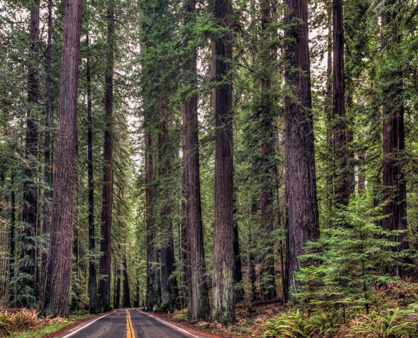 Photograph - Avenue Of The Giants by Loree Johnson