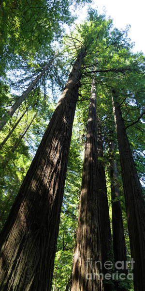 Photograph - Avenue Of The Giants Redwood Trees California Dsc5458 Panorama by Wingsdomain Art and Photography