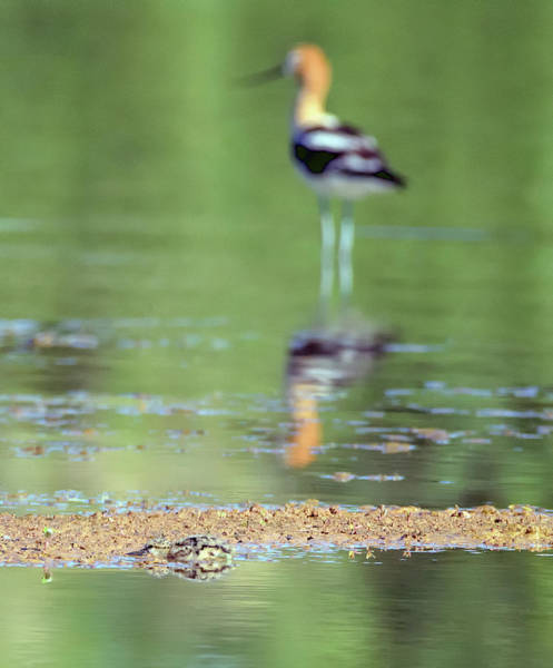 Photograph - Avocet Chick And Adult 1428-05228-1cr by Tam Ryan