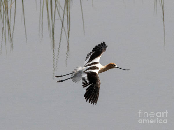 Wade Photograph - Avocet Glide by Mike Dawson