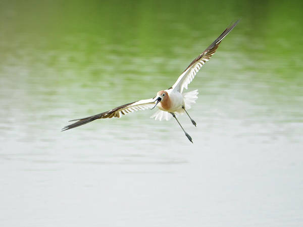 Photograph - Avocet In Flight by Tam Ryan