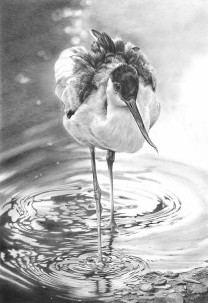 Drawing - Avocet by Peter Williams