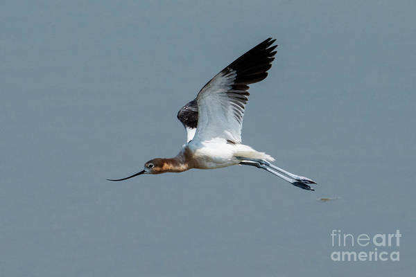 Wade Photograph - Avocet Wings Up by Mike Dawson