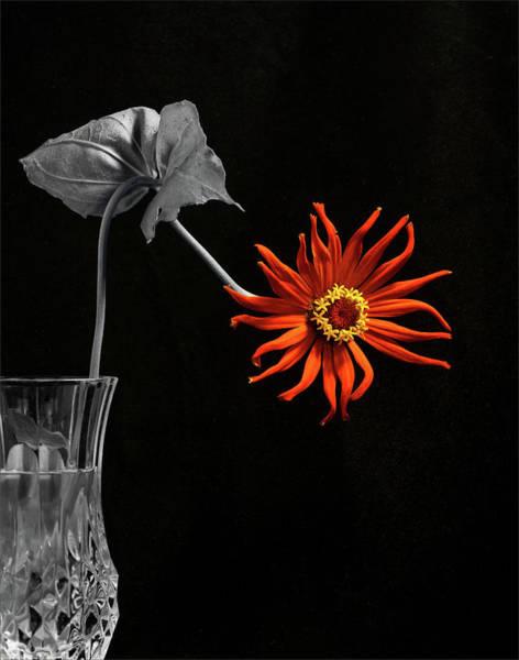 Zinnia Flower Wall Art - Photograph - Awaken by Don Spenner