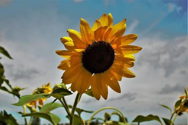 Photograph - 2001 - Awakening Sunflower by Sheryl L Sutter