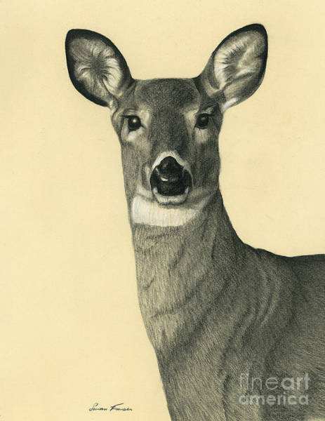 White Tailed Deer Drawing - Aware by Susan Fraser SCA  B Sc