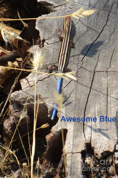 Photograph - Awesome Blue Skink by Marie Neder