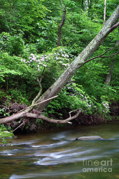 Patapsco Photograph - Azalea Bushes Flowering Next To The Patapsco River Maryland by James Brunker