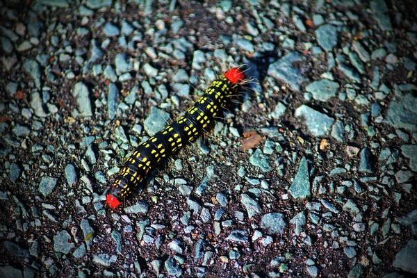 Photograph - Azalea Caterpillar by Cynthia Guinn