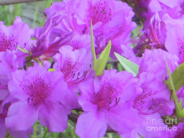 Photograph - Azalea Flowers by Rockin Docks Deluxephotos