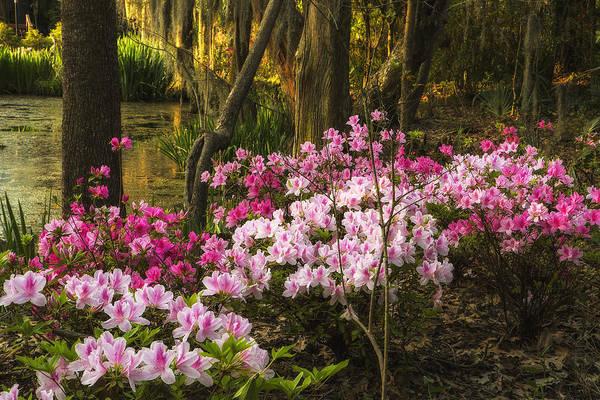 Photograph - Azalea Garden by Ken Barrett