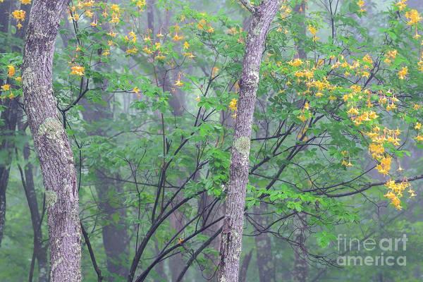 Photograph - Azalea In Mist by Thomas R Fletcher
