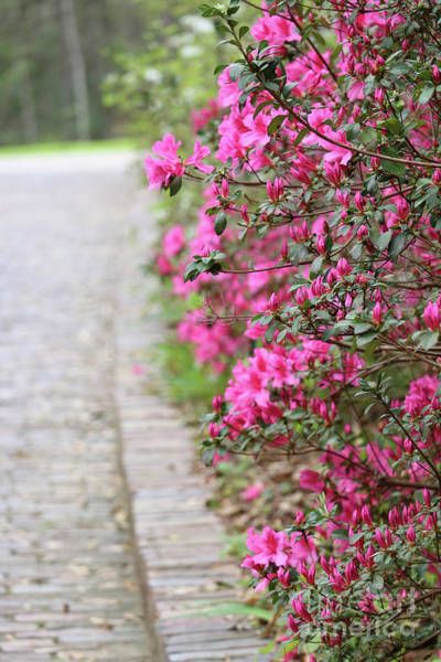 Wall Art - Photograph - Azalea Path by Carol Groenen