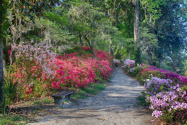 Photograph - Azalea Path by Patricia Schaefer