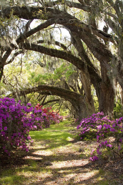 Azaleas And Live Oaks At Magnolia Plantation Gardens Art Print