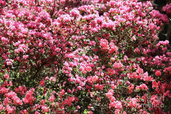Wall Art - Photograph - Azaleas Aplenty by Carol Groenen
