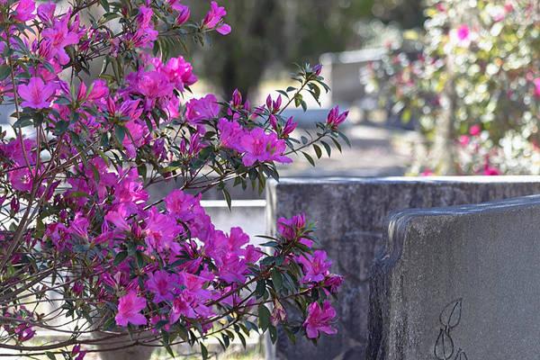 Photograph - Azaleas In Bloom by Kim Hojnacki