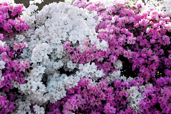 Photograph - Azelea Heaven by Susan Vineyard