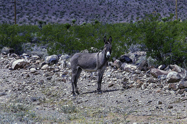 Ass Photograph - Azorina Donkey by Garry Gay