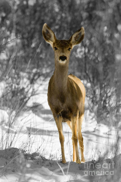 Photograph - B And W Mule Deer In Winter Snowstorm by Steve Krull