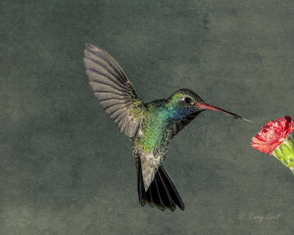 Photograph - B B Hummingbird by Gerry Sibell