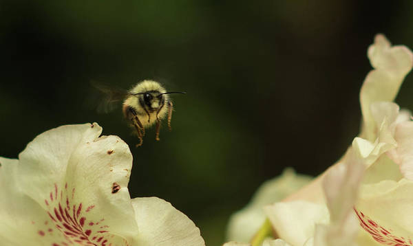 Photograph - Worker Bee by Marilyn Wilson
