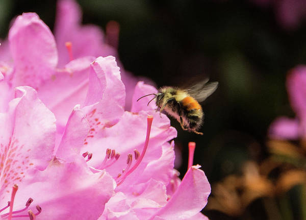 Photograph - Pudgy Bumblebee by Marilyn Wilson