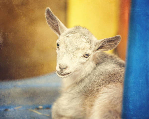 Petting Zoo Photograph - Baaaaaa by Lisa Russo