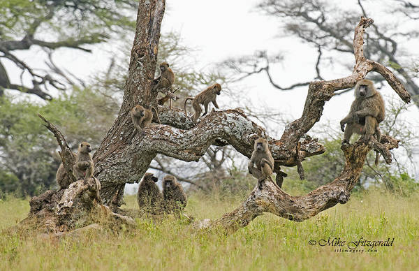 Photograph - Baboon Tree by Mike Fitzgerald