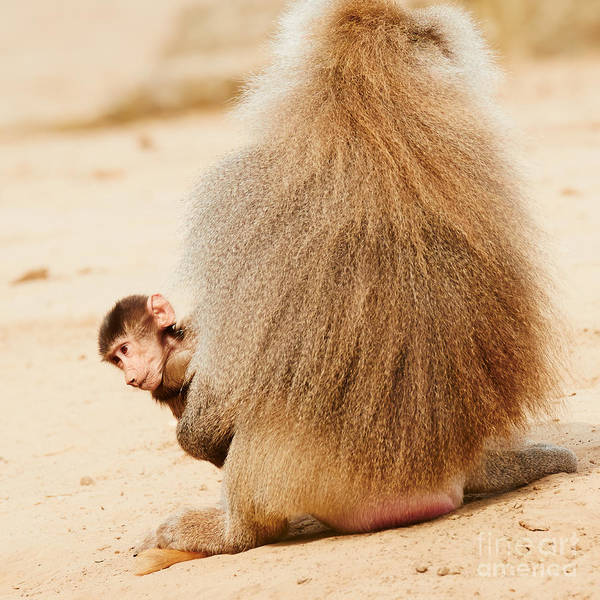 Baboon With A Baby  Art Print