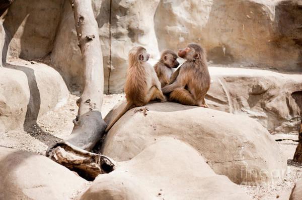 Wall Art - Photograph - Baboons Louse Monkeys Family by Arletta Cwalina