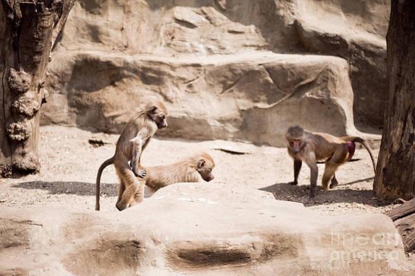 Wall Art - Photograph - Baboons Monkeys Having Sex by Arletta Cwalina